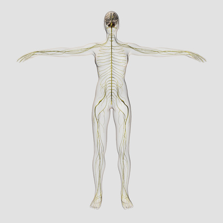 Medical illustration of the human nervous system and brain, full frontal view.