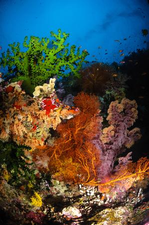 hard coral: Hard coral and soft coral seascape, Fiji.