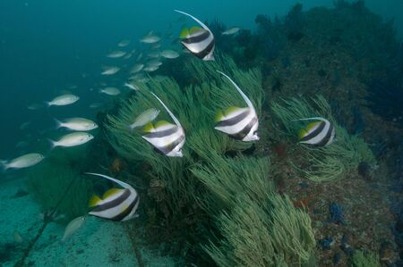 musandam: School of bannerfish and yellow soft coral, Musandam, Dibba, Oman.