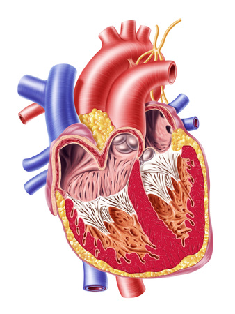 superior vena cava: Anatomy of human heart, cross section with detailed internal structure.