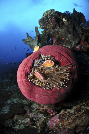 Three pink anemonefish in a circular pink anemone, North Sulawesi, Indonesia.