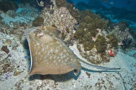 byron: Spotted stingray, Byron Bay, Australia.