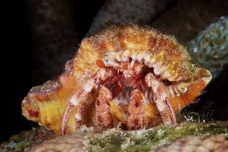 Hermit Crab tucked away in its protective shell, Bonaire, Caribbean Netherlands.