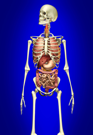 ileum: Male skeleton with internal organs on blue background. LANG_EVOIMAGES