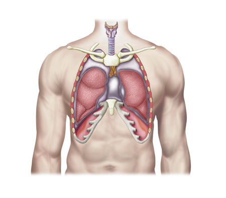 chest cavity: Anatomy of human lungs in situ.