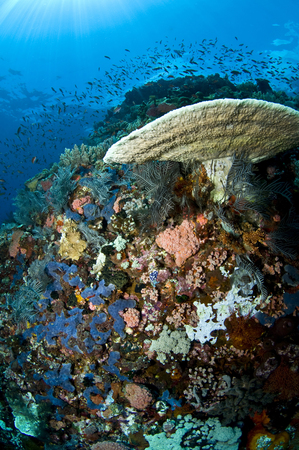 hard coral: Reef scene with corals and fish, Komodo, Indonesia.