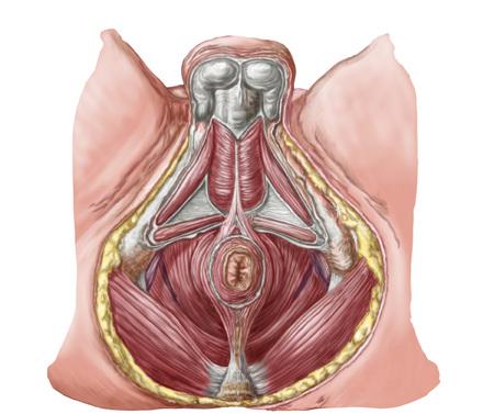 sphincter: Pelvic floor of human male.