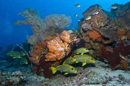 gorgonian sea fan: Orange soft coral, yellow gorgonian sea fan and yellow and blue striped sweeltip fish, Komodo, Indonesia.