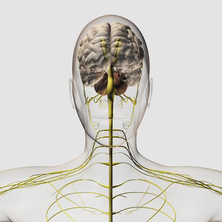 Medical illustration of the human nervous system and brain, front view.