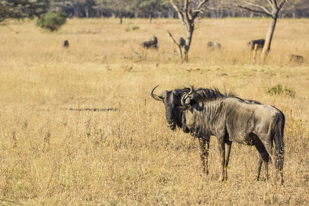 wildebeest wild in to the african savannah photo