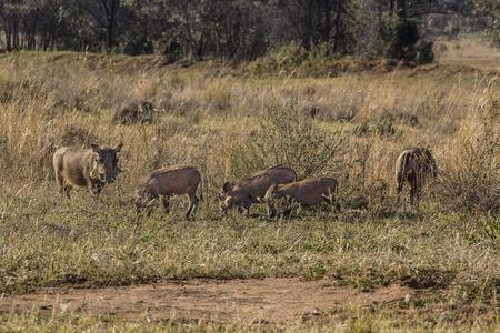 African phacochoerus into the savannah photo