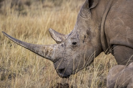 poaching: protection, ivory, poaching, poachers, hunting, white, walking, standing, square-lipped, species, southern, south-africa, south, simum, safari, powerful, portrait, park, outdoor, nature, natural, national, mountain, mammal, large, herbivore  kenya, head,