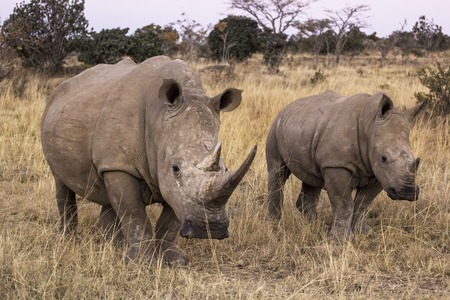 protection, ivory, poaching, poachers, hunting, white, walking, standing, square-lipped, species, southern, south-africa, south, simum, safari, powerful, portrait, park, outdoor, nature, natural, national, mountain, mammal, large, herbivore  kenya, head,  photo