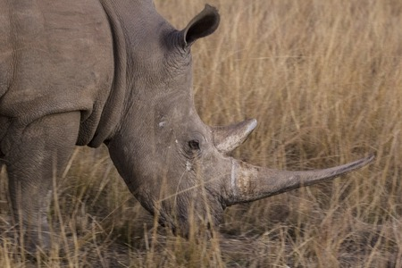 african rhino into the wilde in african savannah photo