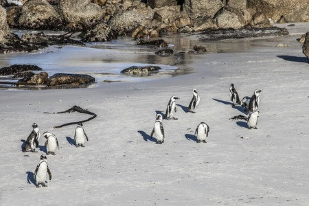 beach penguins view of the coast of cape town photo