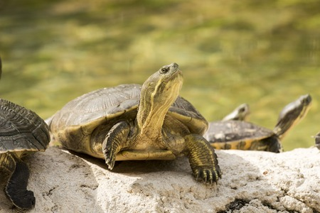 cooter: wild turtle in everglades florida national park