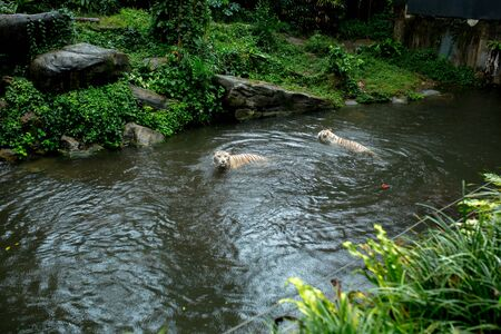 two white tigers swim and catch 写真素材