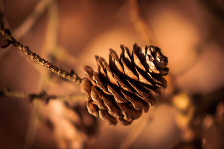 pinecone taken in the woods on a beautiful autumn day.