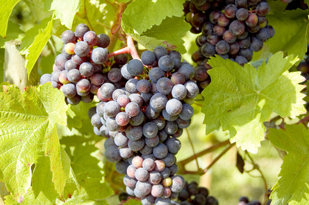 Grapes on a grapevine with wood background Stock fotó