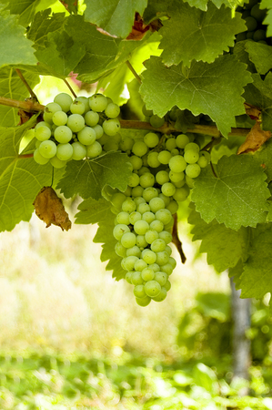 Grapes on a grapevine with wood background Stok Fotoğraf