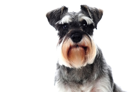 Small black and white miniature schnauzer dog looking at camera photo