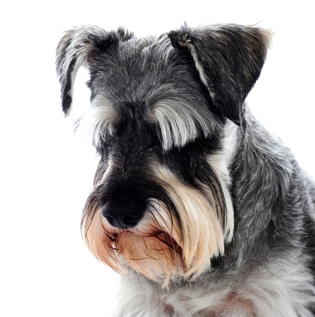 dog grooming: Black Schnauzer dog looking down against white backdrop. Sad concept