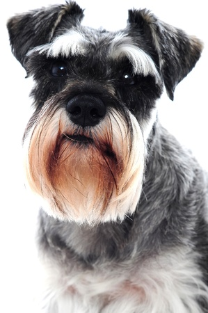 Black Schnauzer dog against white backdrop photo