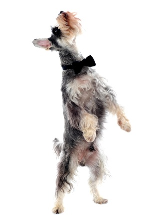 Schnauzer standing on two legs and looking upwards Stock Photo - 13997484