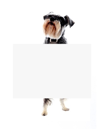 Its time for doggy business. Schnauzer dog holding blank banner ad photo