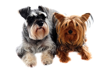 Schnauzer and Yorkshire Terrier lying on floor against white background photo