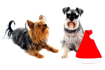 Two cute lovable pets posing right beside christmas cap. Isolated on white Stock Photo - 13997546