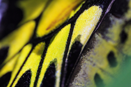 black butterfly: Butterfly wing