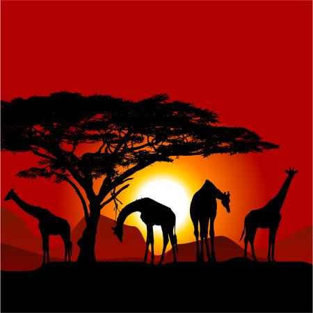 savanna: Silhouettes of giraffes on African sunset - savanna