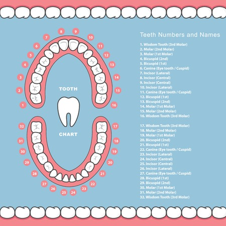 Tooth chart with names - dental infographics, teeth in jaw Vectores