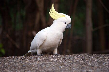 A closeup photo of wild cockatoo. photo