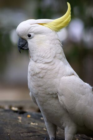 cockatoos: Cockatoos head