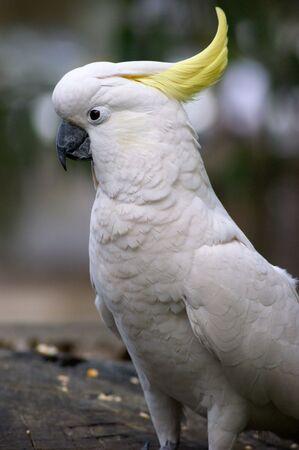cockatoos: Testa della Cacatua