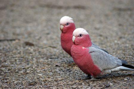 A photo of couple of galah. photo