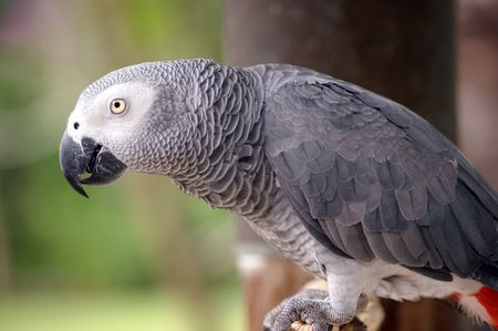 greys: Grey parrot Stock Photo