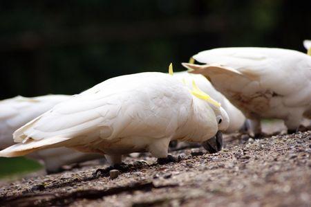 cockatoos: Cacatua alimentazione.