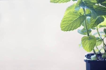 Fresh mint growing in the pot with copyspace. Horizontal orientation.