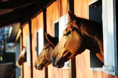 Three horses with the head outside of the stable.  Stock Photo