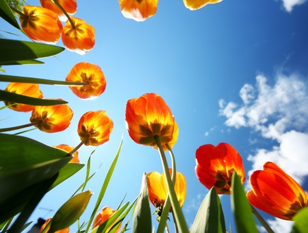tulips in green grass: colorful tulips in the garden Stock Photo