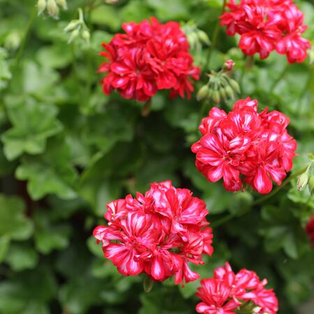 geranium: Large group of Bright Pink Geraniums