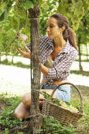 biological vineyard: Young woman harvesting prosecco white grapes in a vineyard Stock Photo