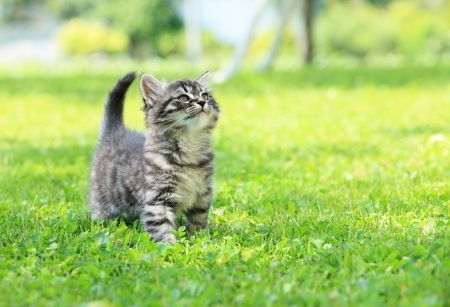 puppy and kitten: Cute little cat on the grass looking up
