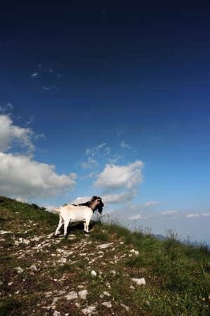 a goat on a mountain trail admire the landscape photo
