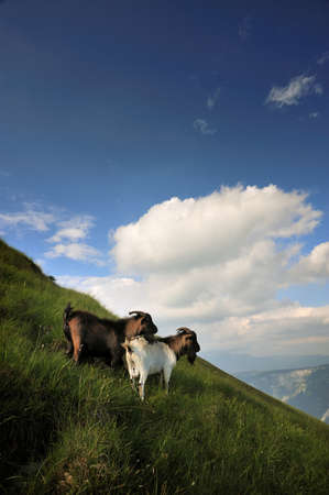 a pair of goats on a grassy hillside in the mountains admiring the landscape photo