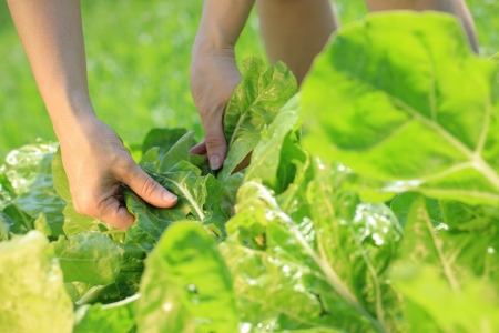 Woman hands picking a leaf on vegetable garden photo