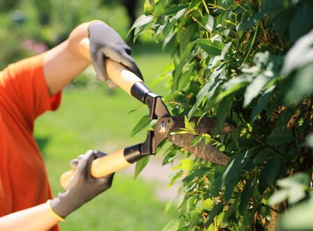 hedge clippers: A gardener cutting a hedge in the garden, hands close up